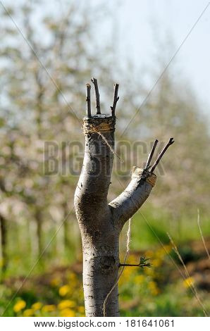 Grafting Fruit Tree In An Apple Orchardi N Spring