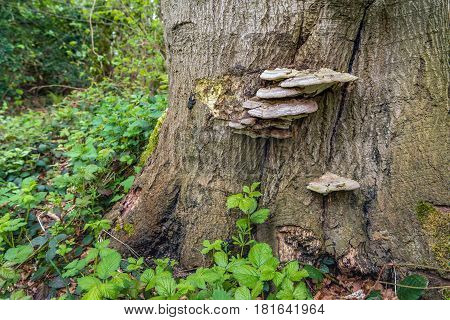 Bear bread or Ganoderma applanatum fungus on the bark of a big tree. It is a wood-decay fungus causing a rot of heartwood in a variety of trees.