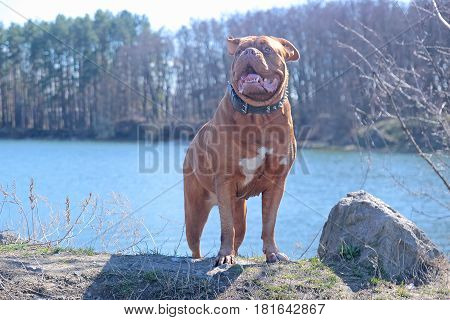 Dogue De Bordeaux walking around the forest