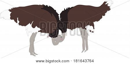 Portrait of two peaceful ostriches - colored hand drawn vector Illustration isolated on white background