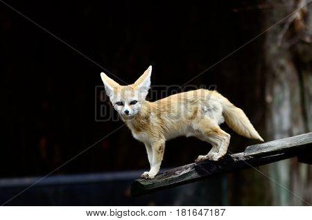 Cute Fennec fox cub, Sub Sahara type of fox.