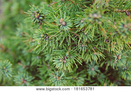 Canadian Spruce Conic, Beautiful Green Tree