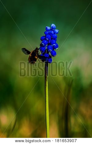 Muscari neglectum flowers  with a bee colecting nectar