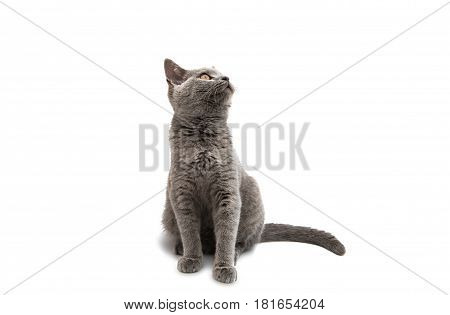 British shorthair grey cat isolated on the white background