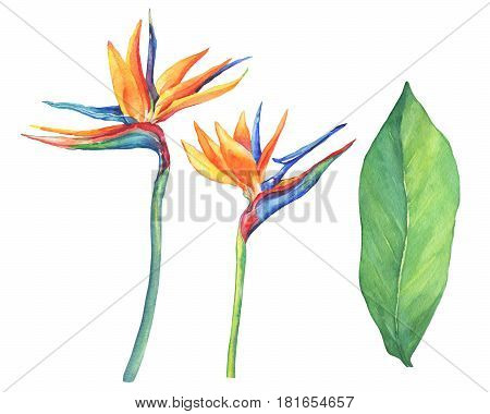 Set of ropical flower Strelitzia reginae. Hand drawn watercolor painting on white background.