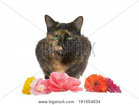 One tortie torbie tabby cat crouched down with flowers in front of her. Isolated on a white background.