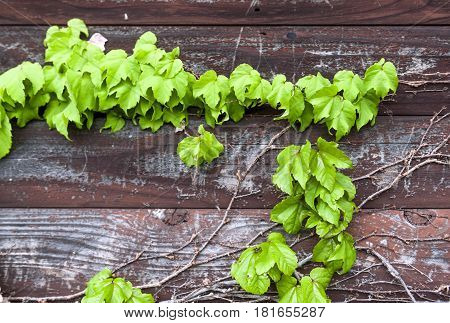 Ivy Or Hedera Creeping On Wooden Wall