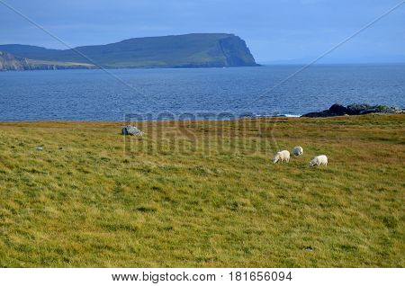 Trio of white sheep grazing in tall grass on the Isle of Skye.