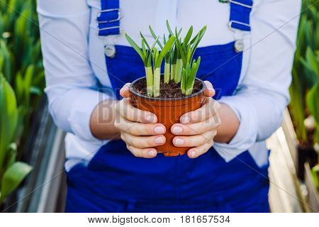 gardener woman holding potted plant in her hands, close-up, standing in a greenhouse. Growing domestic flowers