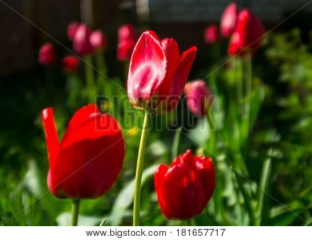 the tulips on the flowerbed in park