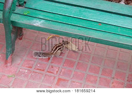 KOLKATA, INDIA - FEBRUARY 08: Indian palm squirrel (Funambulus palmarum), Victoria Memorial gardens in Kolkata, India on February 08, 2016.
