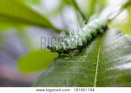 The world's largest green caterpillar Moth Hercules with the blue horns on a tropical leaf