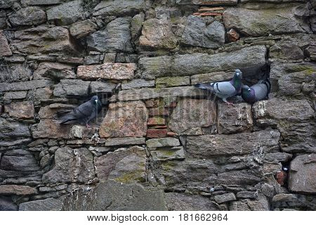 Three pigeons sit in an old sandstone wall