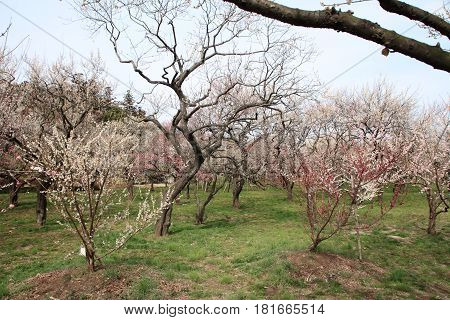 Plum Grove In Kairaku En, Mito, Japan