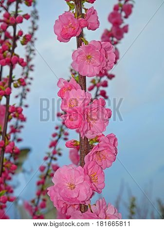 Sakura twig with pink blossoming flowers on the background of clouding evening sky in springtime