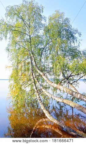 Tilted birch over lake water in Karelian Isthmus Russia.