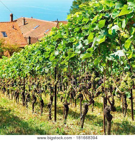 Chalets And Lavaux Vineyard Terraces Trail Lavaux Oron Of Switzerland