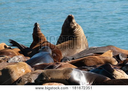 Sea Lions laying on a Dock near Monterey California