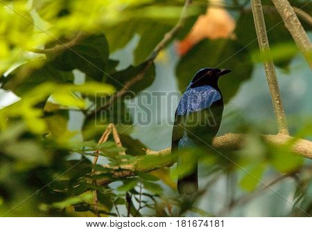 Asian Fairy bluebird Irena puella is found in Malaysia and the Philippines