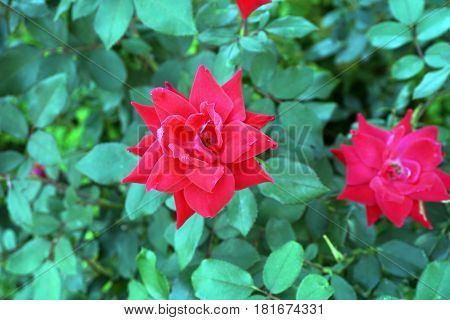 Red double knockout roses bloom in a flower garden in Joliet, Illinois during September.