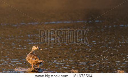 Spot-billed duck bathed in sunlight standing on a rock in a river