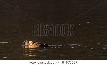 Two spot-billed ducks bathed in sunlight swimming in a river