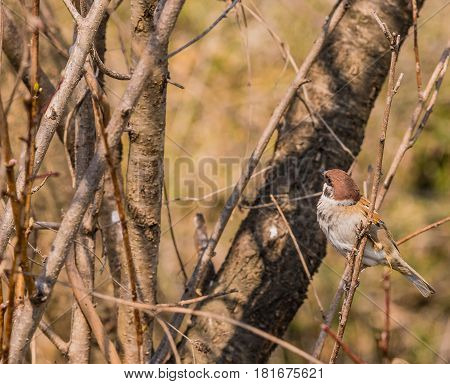 Closeup of a small sparrow perched on a tree branch with a soft blurred background
