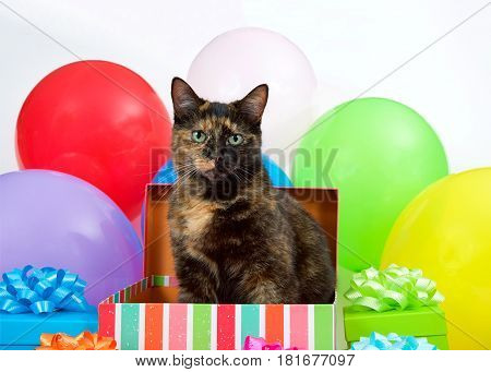Tortie Torbie Tabby cat sitting in a birthday present box surrounded by colorful presents and bright balloons. Surprise Party.