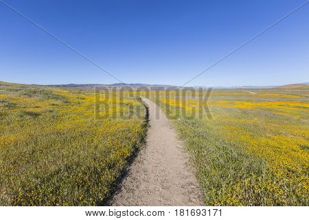 Yellow wildflowers at the Antelope Valley California Poppy Reserve State Park.