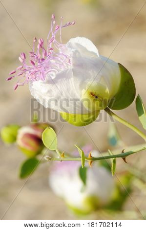 Capparis spinosa best known for the edible flower buds (capers)