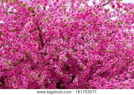 Pink sakura flowering in France springtime Obernai