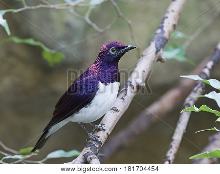 Violet-backed starling resting on a branch in its habitat