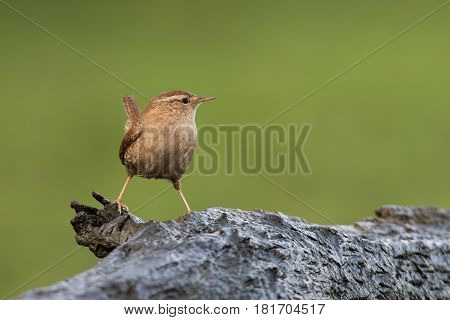 portrait image of a wren perched on a log to the left and looking sideways to the right