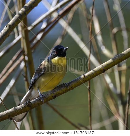 Beautiful Vibrant Blue And Yellow Male Weaver Bird Ploceidae In Tree