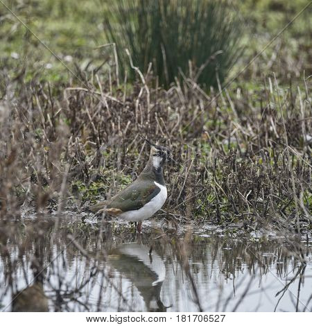 Portrait Of Beautiful Lapwing Bird Seen Through Reeds On Side Of Lake In Spring