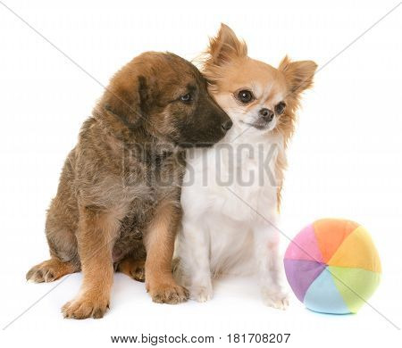 puppy belgian shepherd dog laekenois and chihuahua in front of white background