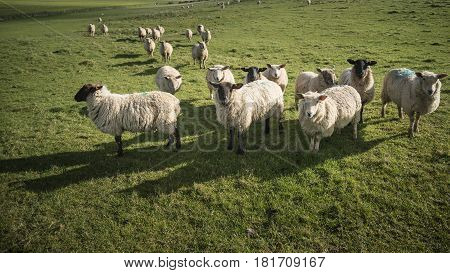 Flock Of Sheep In Spring Sunshine In English Farm Countryside Landscape