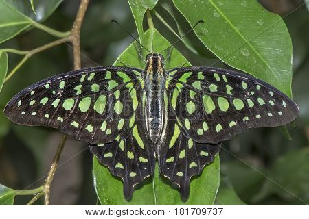 Tailed Jay Perched On A Leaf, Close Up