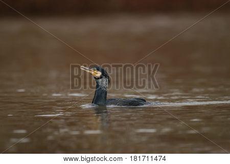 Cormorant swimming on a pond in Scotland