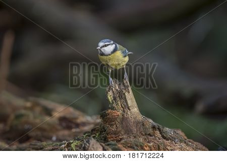Blue Tit, Perched On A Branch In A Forest