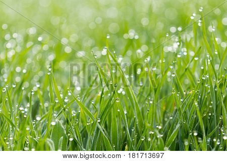 Dew droplets on grass in the early morning