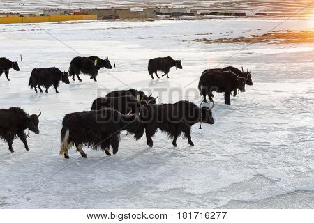 snow area plateau yak at dusk in a tibetan village