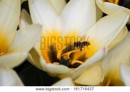 Field Of Tulips Flying Bee
