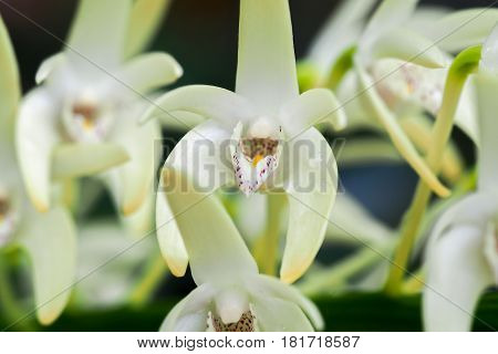 Pale cream Dendrobium speciosum flowers with bright yellow and purple markings close-up.