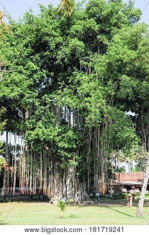 Borobudur, Indonesia - 31 January 2013: Large old tree overgrown with lianas at Borobudur on Java Indonesia