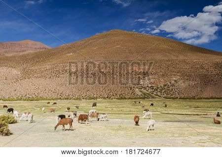 Lamas at San Agustin valley Altiplano Bolivia