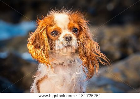 Cute puppy King Charles Cavalier portrait at sunset sitting in the strong wind