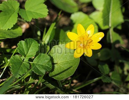close photo of yellow bloom of lesser celandine (Ficaria verna)