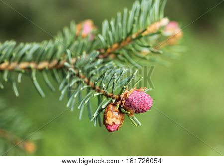 close photo of blooms of spruce in spring