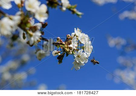 Bees pollinate the flowers of spring trees. Apiculture. Insects and plants